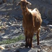 friendly mountain goat